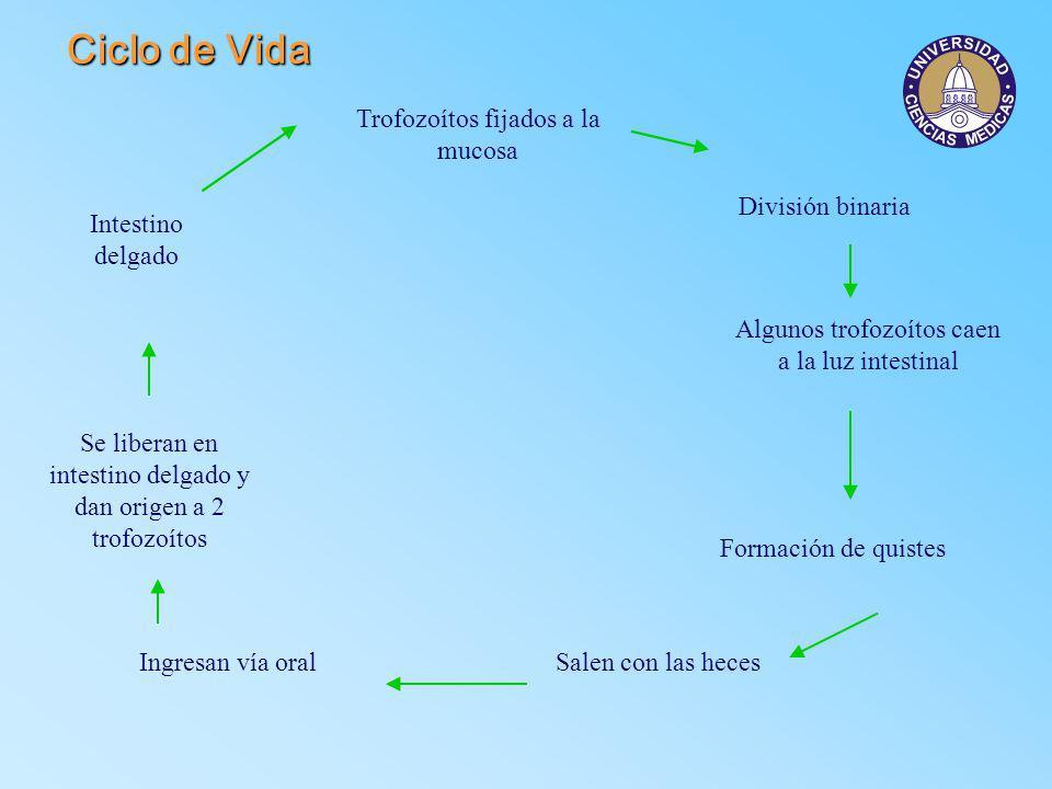 Ciclo de Vida Trofozoítos fijados a la mucosa División binaria