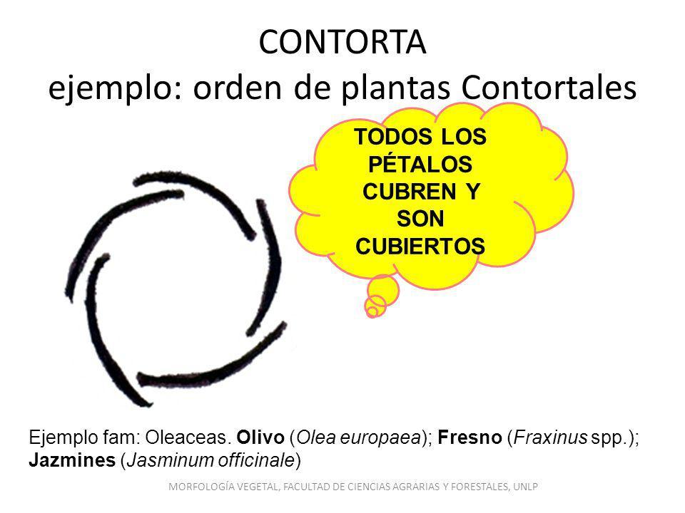 CONTORTA ejemplo: orden de plantas Contortales