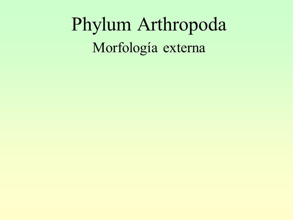 Phylum Arthropoda Morfología externa