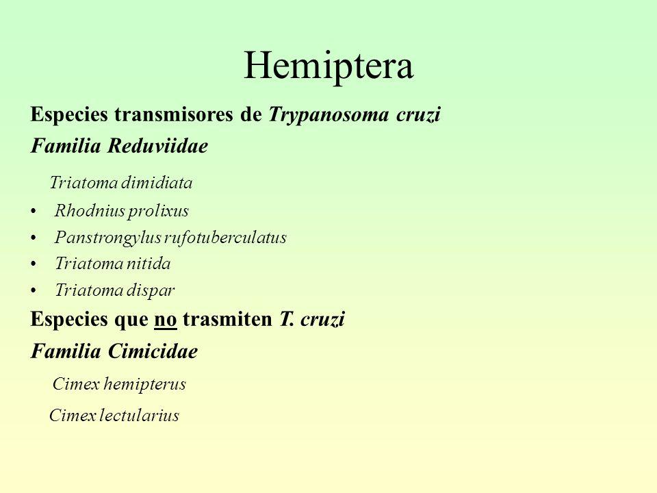 Hemiptera Triatoma dimidiata