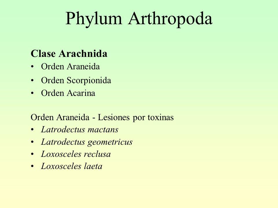Phylum Arthropoda Clase Arachnida Orden Araneida Orden Scorpionida