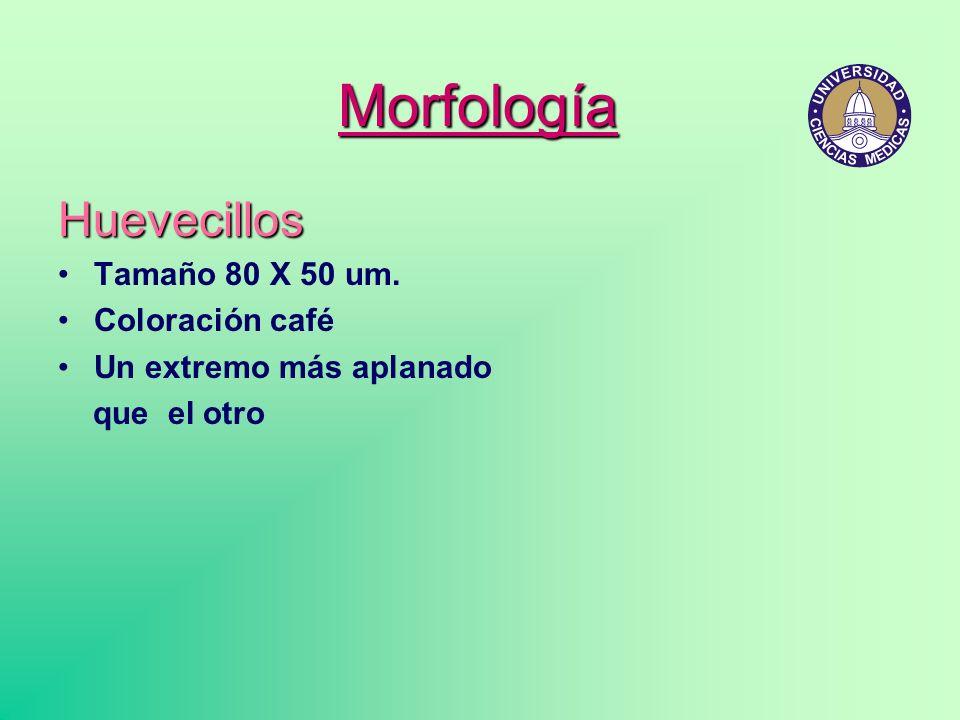 Morfología Huevecillos Tamaño 80 X 50 um. Coloración café