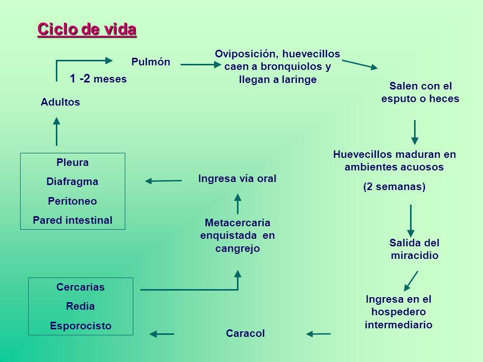 Ciclo de vida Oviposición, huevecillos caen a bronquiolos y llegan a laringe. Pulmón. 1 -2 meses.
