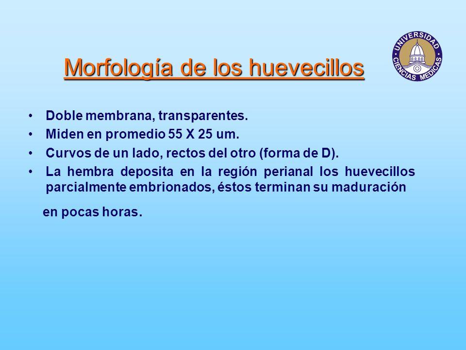 Morfología de los huevecillos
