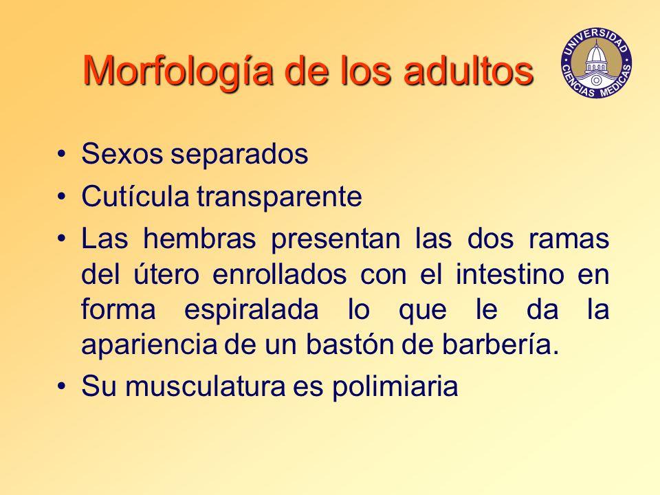 Morfología de los adultos