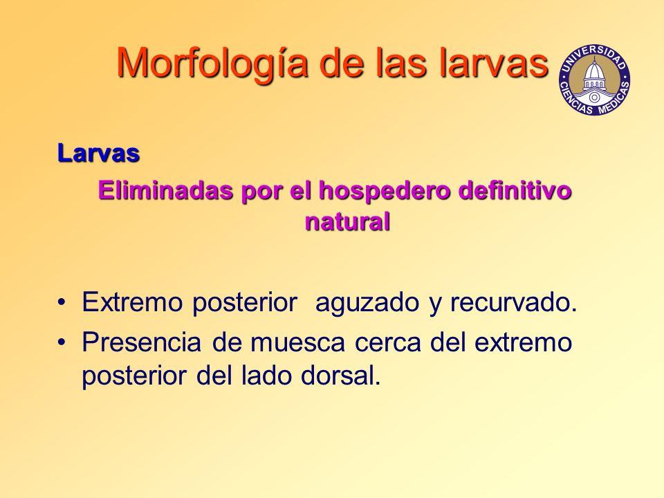 Morfología de las larvas