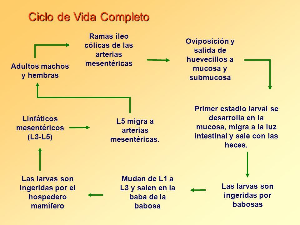Ciclo de Vida Completo Ramas íleo cólicas de las arterias mesentéricas