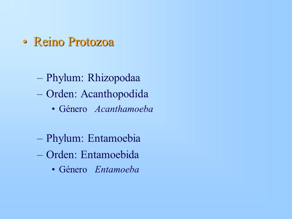 Reino Protozoa Phylum: Rhizopodaa Orden: Acanthopodida