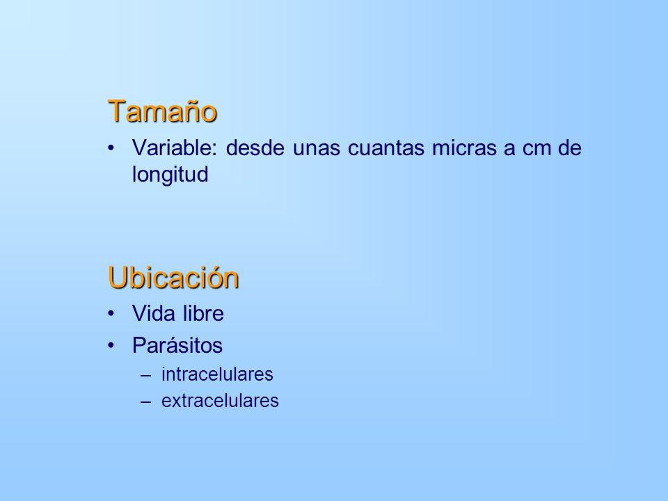 Tamaño Ubicación Variable: desde unas cuantas micras a cm de longitud