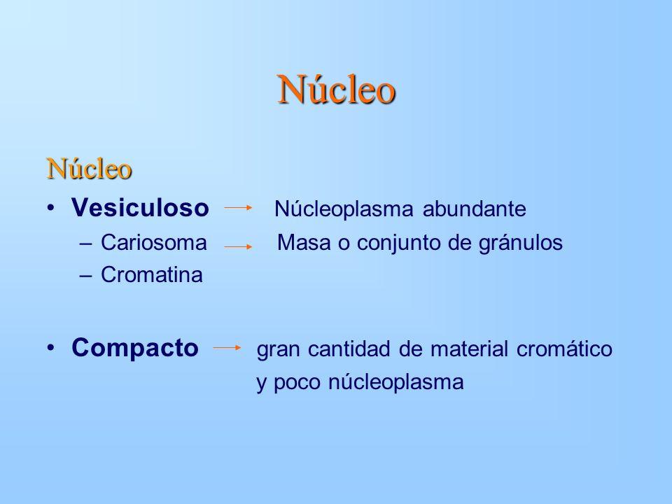 Núcleo Núcleo Vesiculoso Núcleoplasma abundante