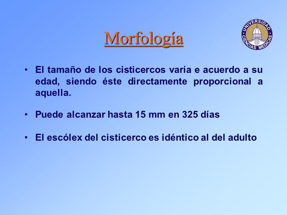 Morfología El tamaño de los cisticercos varía e acuerdo a su edad, siendo éste directamente proporcional a aquella.