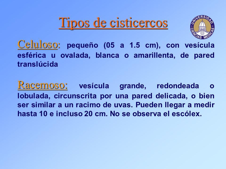Tipos de cisticercos Celuloso: pequeño (05 a 1.5 cm), con vesícula esférica u ovalada, blanca o amarillenta, de pared translúcida.