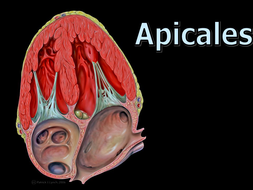 Apicales