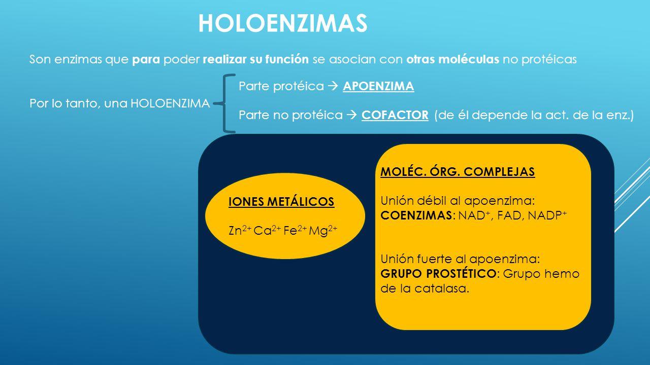 HOLOENZIMAS Son enzimas que para poder realizar su función se asocian con otras moléculas no protéicas.
