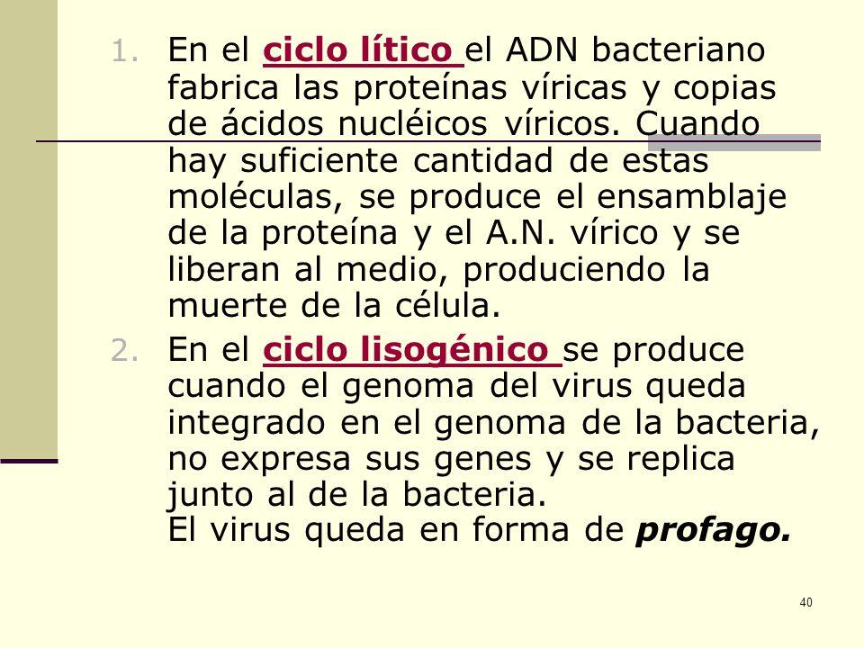 En el ciclo lítico el ADN bacteriano fabrica las proteínas víricas y copias de ácidos nucléicos víricos. Cuando hay suficiente cantidad de estas moléculas, se produce el ensamblaje de la proteína y el A.N. vírico y se liberan al medio, produciendo la muerte de la célula.