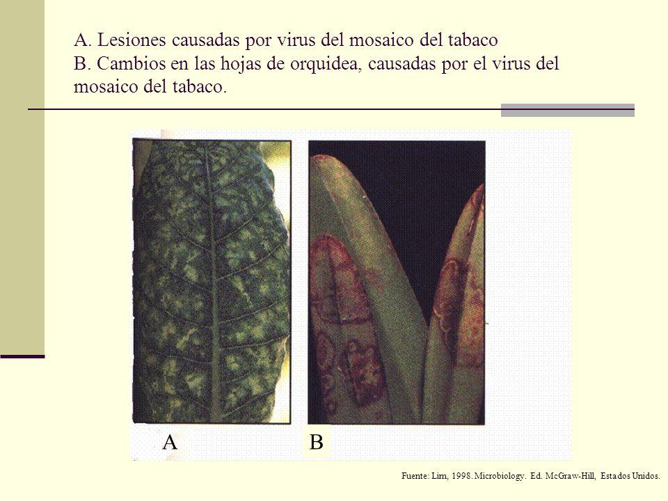 A. Lesiones causadas por virus del mosaico del tabaco B
