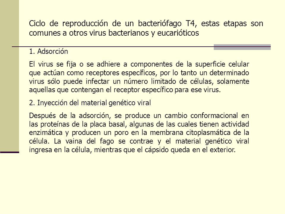 Ciclo de reproducción de un bacteriófago T4, estas etapas son comunes a otros virus bacterianos y eucarióticos