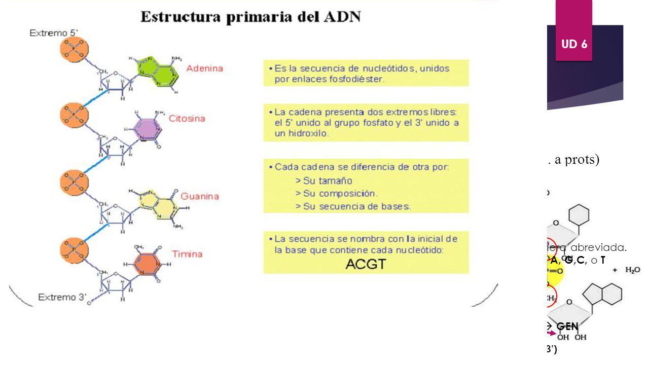 ÁCIDOS NUCLÉICOS. ADN Ácido desoxirribonuleico