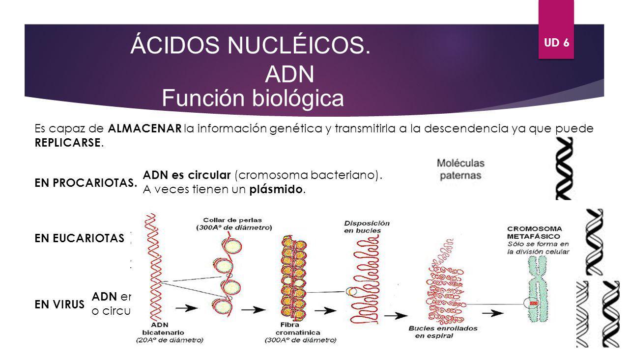 ÁCIDOS NUCLÉICOS. ADN Función biológica UD 6