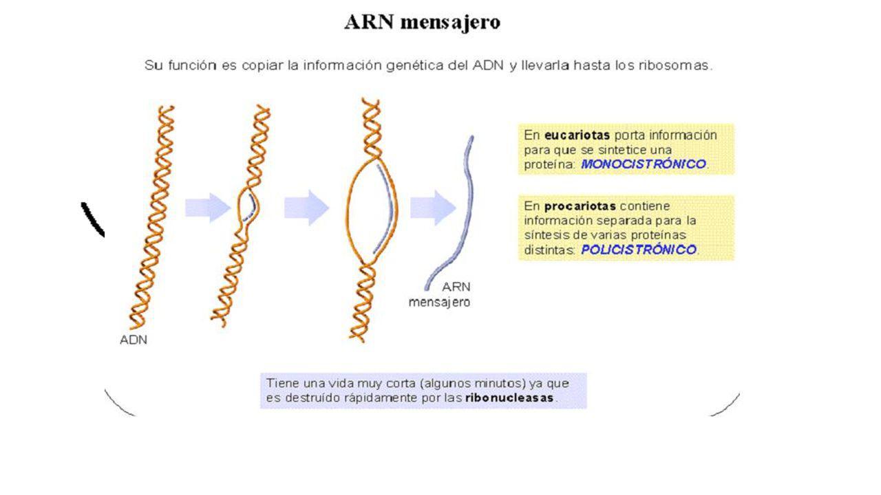 ÁCIDOS NUCLÉICOS. TIPOS DE ARN ARNm UD 6 Entre el 2% -5% del ARN total