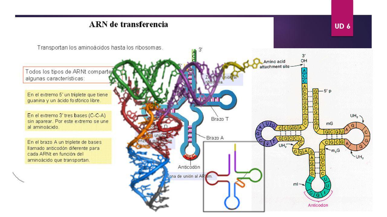 ÁCIDOS NUCLÉICOS. UD 6 TIPOS DE ARN ARNt VOLVER