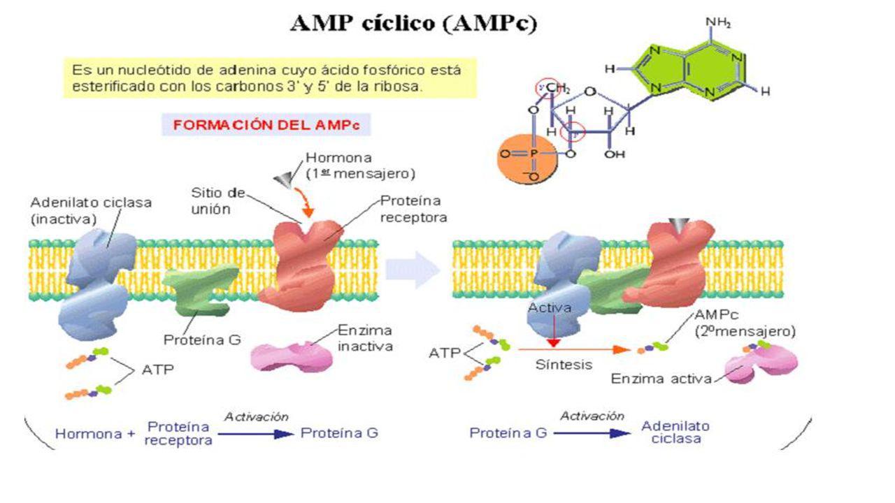 ÁCIDOS NUCLÉICOS. AMPc Nucleótidos NO nucléicos UD 6