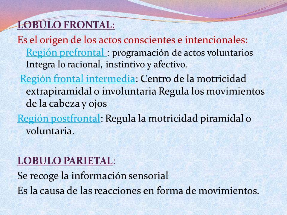 LOBULO FRONTAL: Es el origen de los actos conscientes e intencionales: Región prefrontal : programación de actos voluntarios Integra lo racional, instintivo y afectivo.