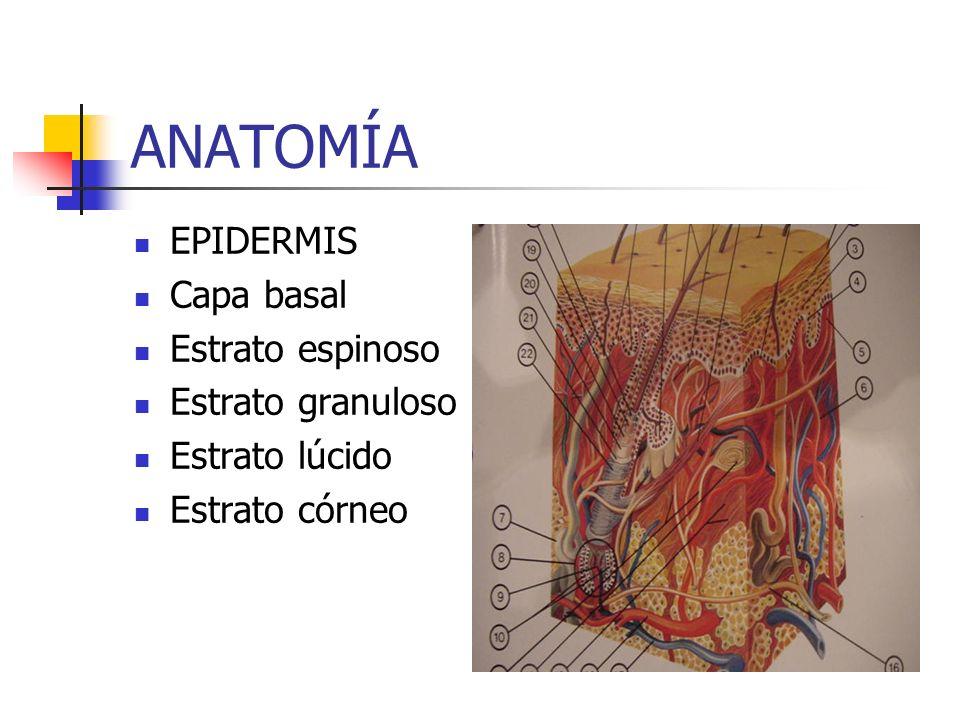 ANATOMÍA EPIDERMIS Capa basal Estrato espinoso Estrato granuloso