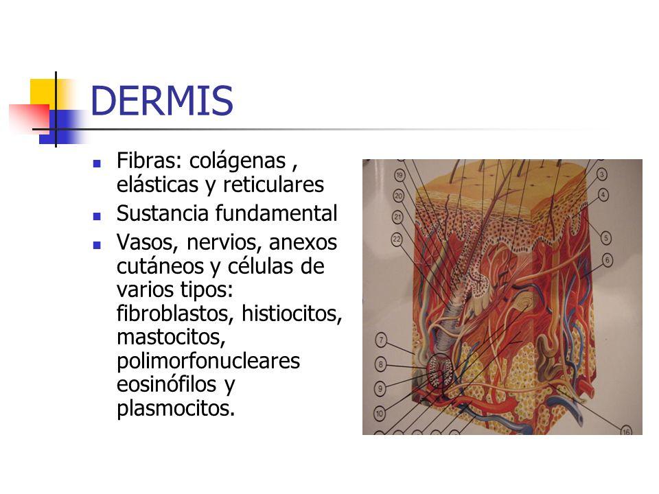 DERMIS Fibras: colágenas , elásticas y reticulares
