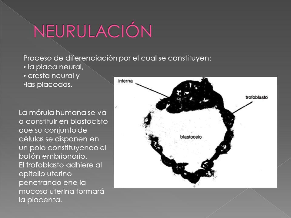 NEURULACIÓN Proceso de diferenciación por el cual se constituyen: