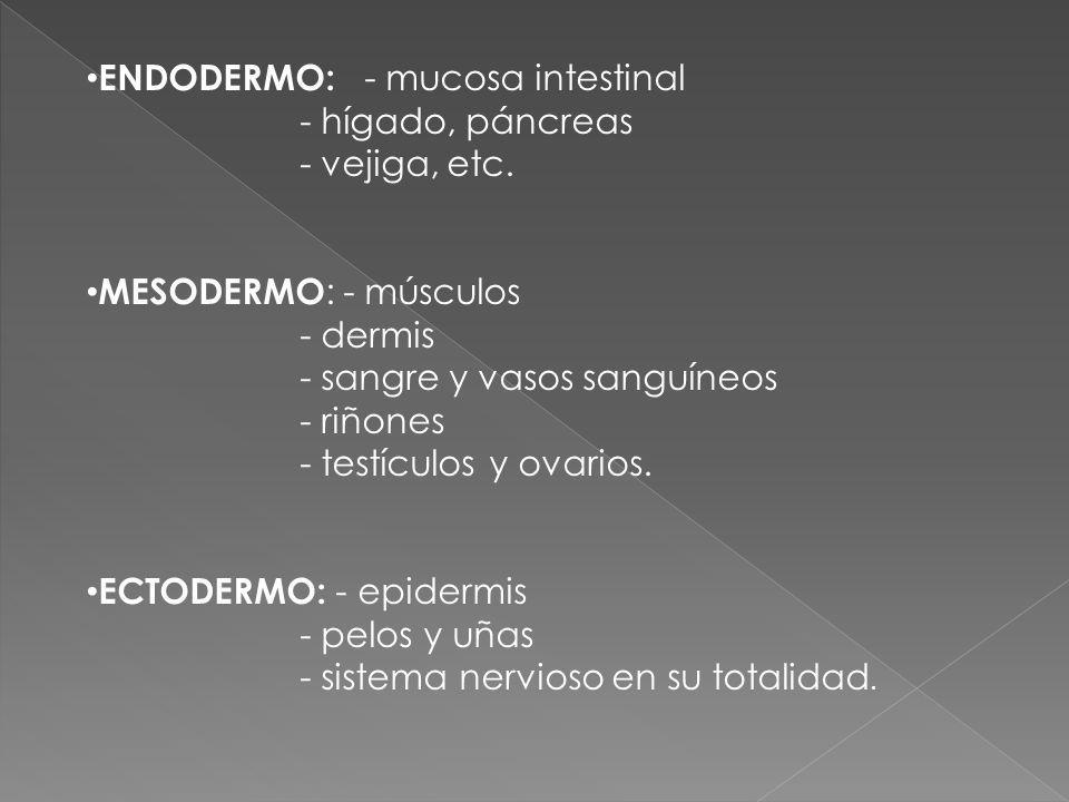 ENDODERMO: - mucosa intestinal