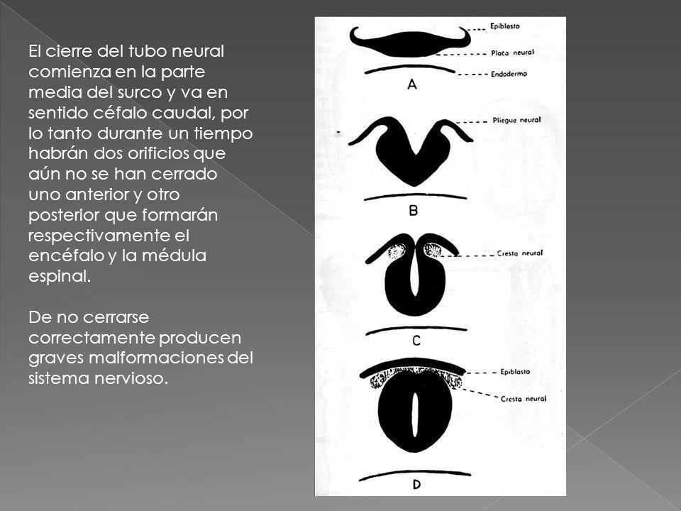 El cierre del tubo neural comienza en la parte media del surco y va en sentido céfalo caudal, por lo tanto durante un tiempo habrán dos orificios que aún no se han cerrado uno anterior y otro posterior que formarán respectivamente el encéfalo y la médula espinal.