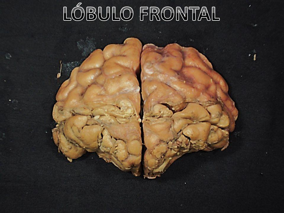LÓBULO FRONTAL