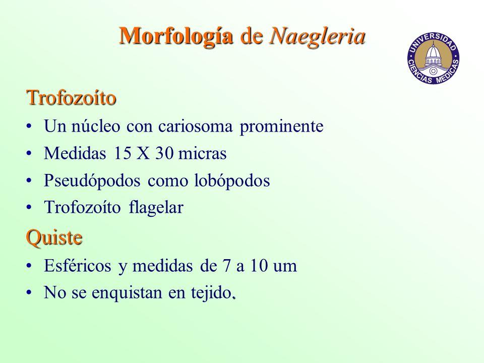 Morfología de Naegleria
