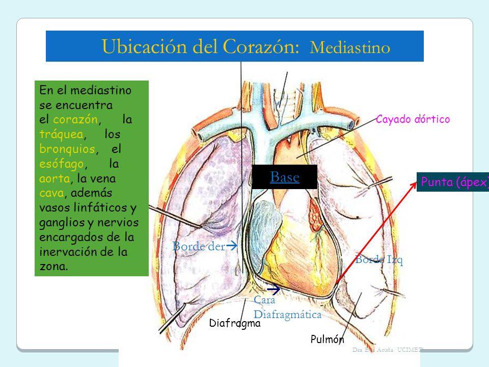 Ubicación del Corazón: Mediastino