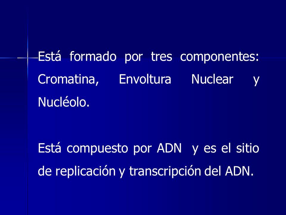 Está formado por tres componentes: Cromatina, Envoltura Nuclear y Nucléolo.
