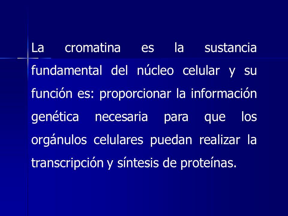 La cromatina es la sustancia fundamental del núcleo celular y su función es: proporcionar la información genética necesaria para que los orgánulos celulares puedan realizar la transcripción y síntesis de proteínas.