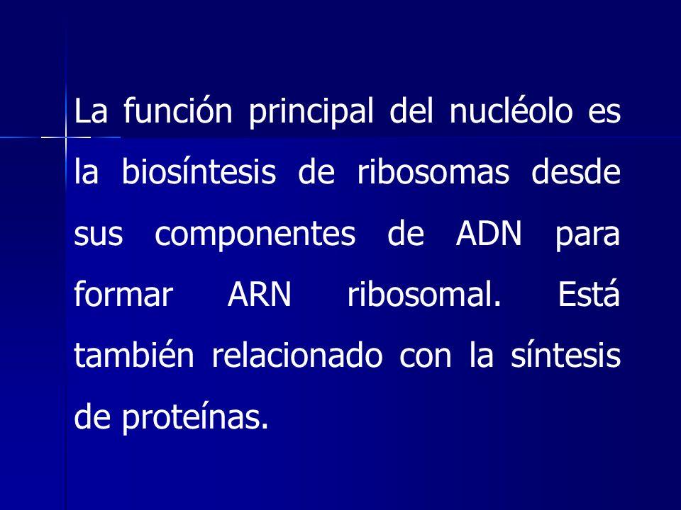 La función principal del nucléolo es la biosíntesis de ribosomas desde sus componentes de ADN para formar ARN ribosomal.