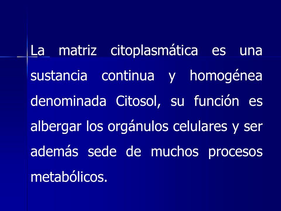 La matriz citoplasmática es una sustancia continua y homogénea denominada Citosol, su función es albergar los orgánulos celulares y ser además sede de muchos procesos metabólicos.