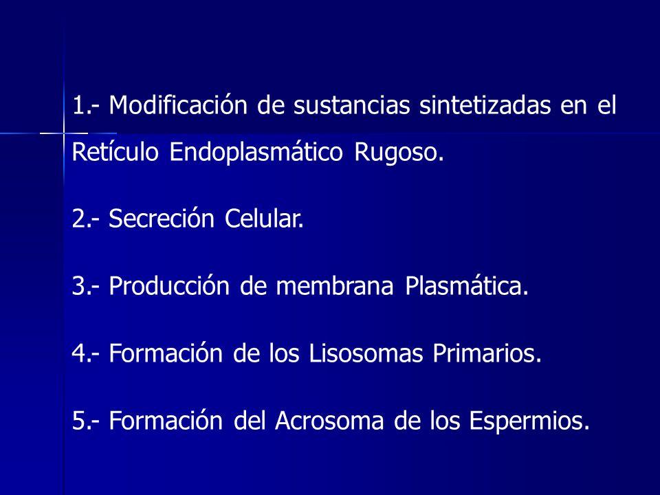 1.- Modificación de sustancias sintetizadas en el Retículo Endoplasmático Rugoso.