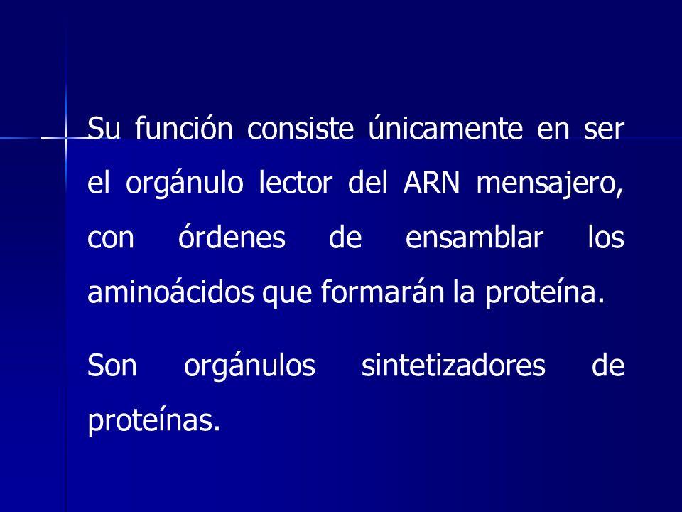 Su función consiste únicamente en ser el orgánulo lector del ARN mensajero, con órdenes de ensamblar los aminoácidos que formarán la proteína.