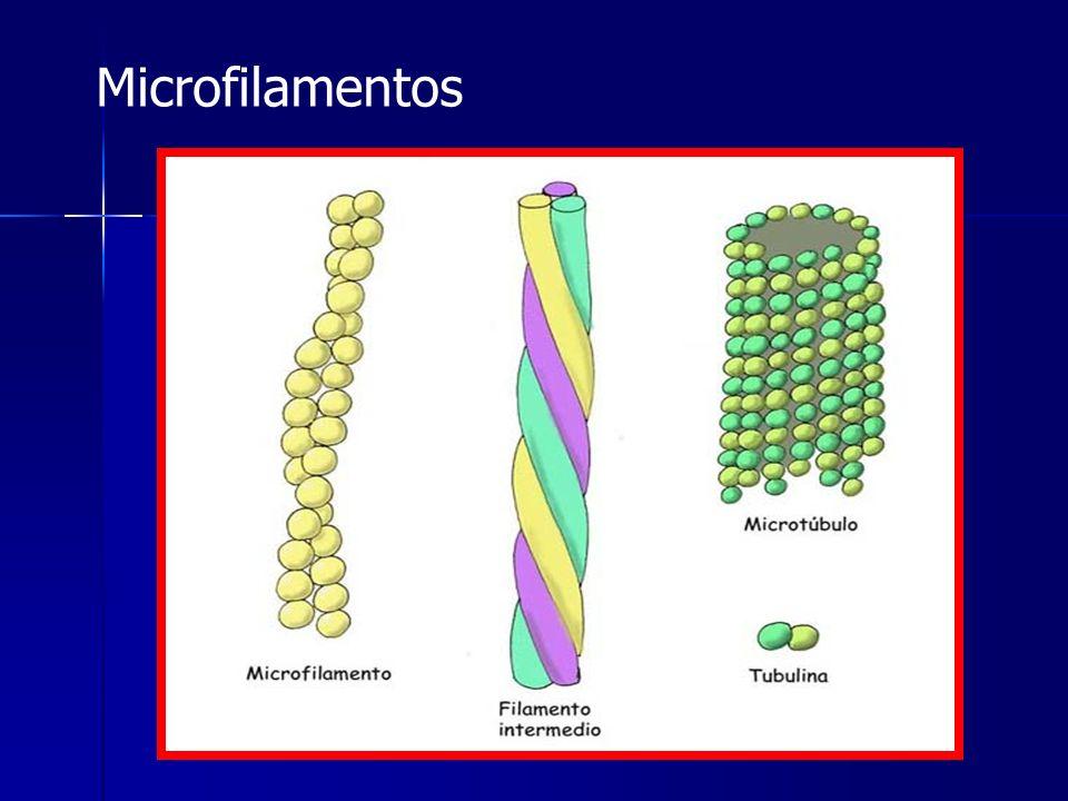 Microfilamentos