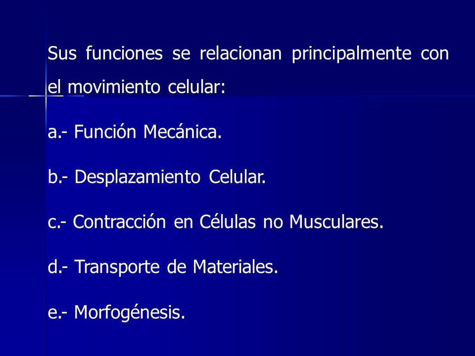 Sus funciones se relacionan principalmente con el movimiento celular: