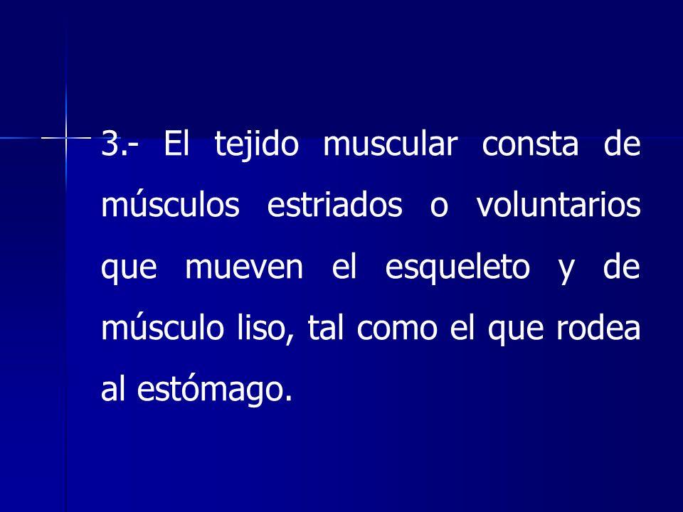 3.- El tejido muscular consta de músculos estriados o voluntarios que mueven el esqueleto y de músculo liso, tal como el que rodea al estómago.