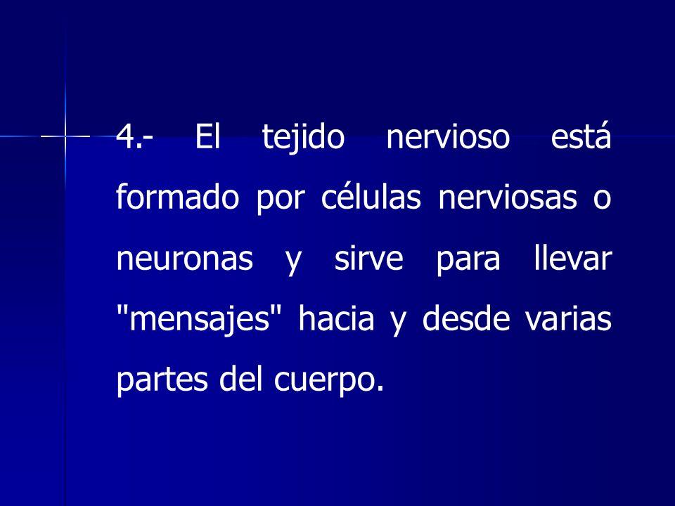 4.- El tejido nervioso está formado por células nerviosas o neuronas y sirve para llevar mensajes hacia y desde varias partes del cuerpo.