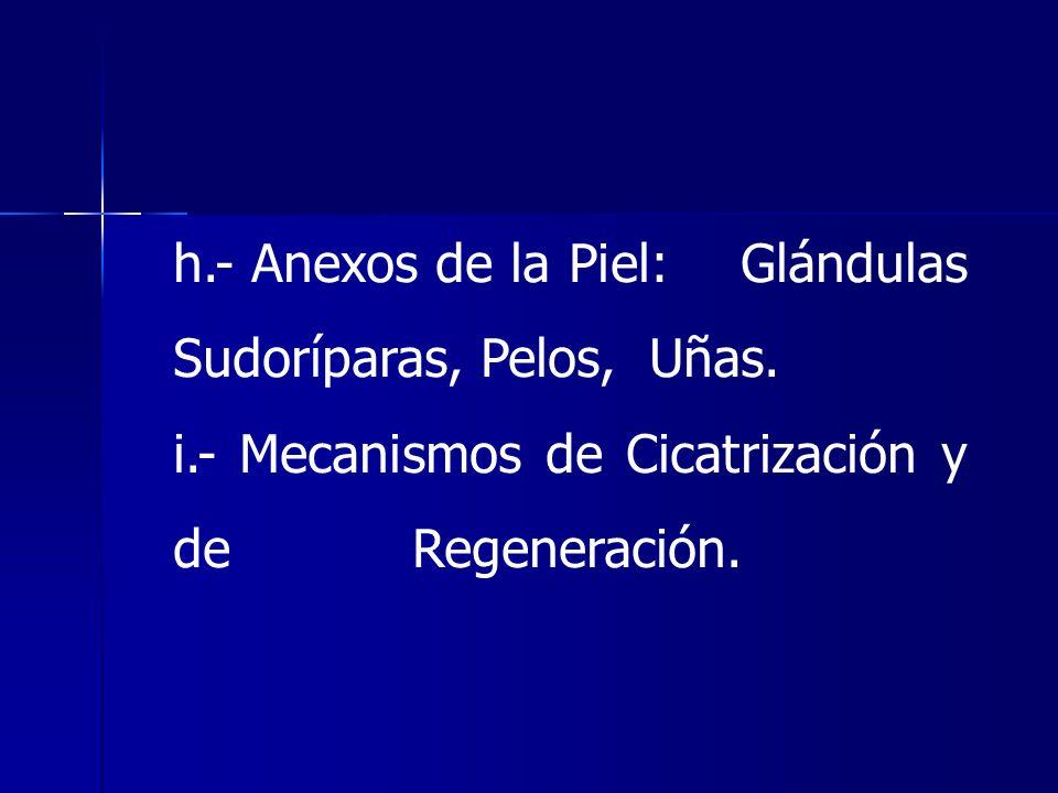 h.- Anexos de la Piel: Glándulas Sudoríparas, Pelos, Uñas.