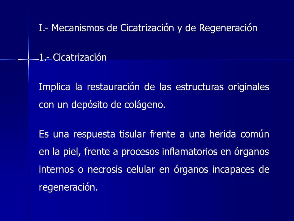 I.- Mecanismos de Cicatrización y de Regeneración