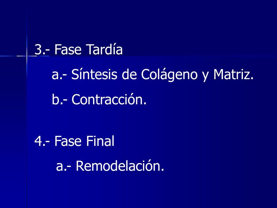 3.- Fase Tardíaa.- Síntesis de Colágeno y Matriz.b.- Contracción.