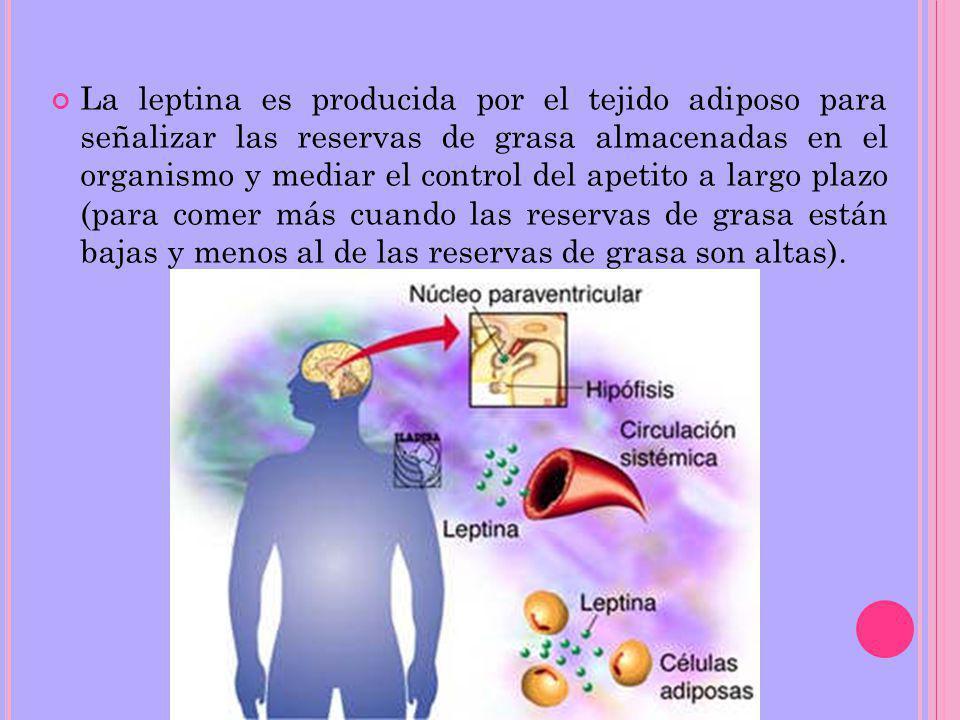 La leptina es producida por el tejido adiposo para señalizar las reservas de grasa almacenadas en el organismo y mediar el control del apetito a largo plazo (para comer más cuando las reservas de grasa están bajas y menos al de las reservas de grasa son altas).