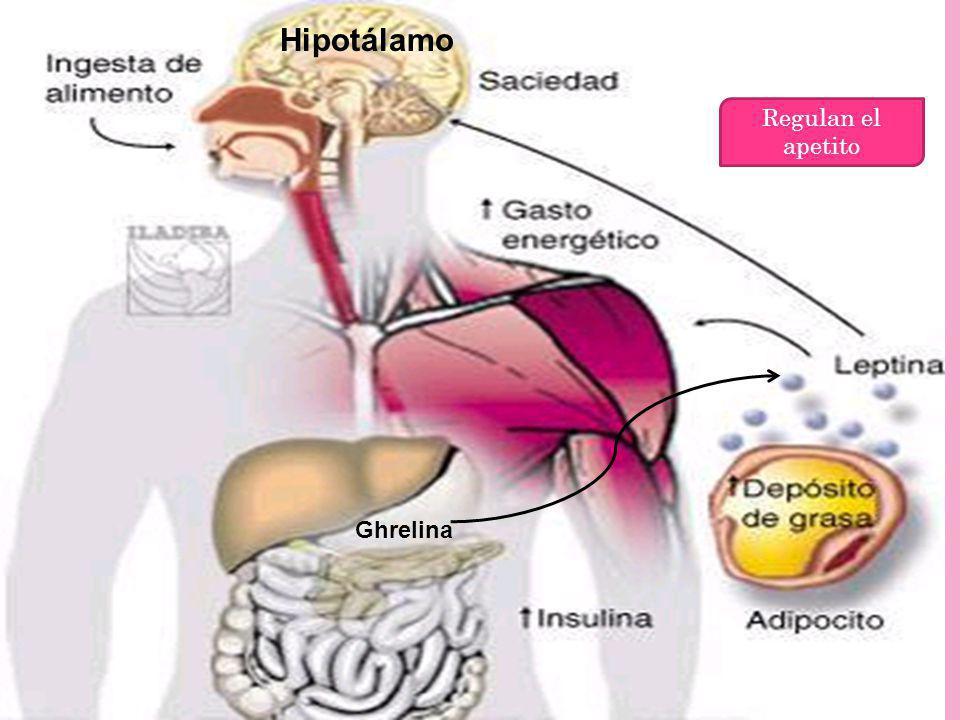 Hipotálamo Regulan el apetito Ghrelina